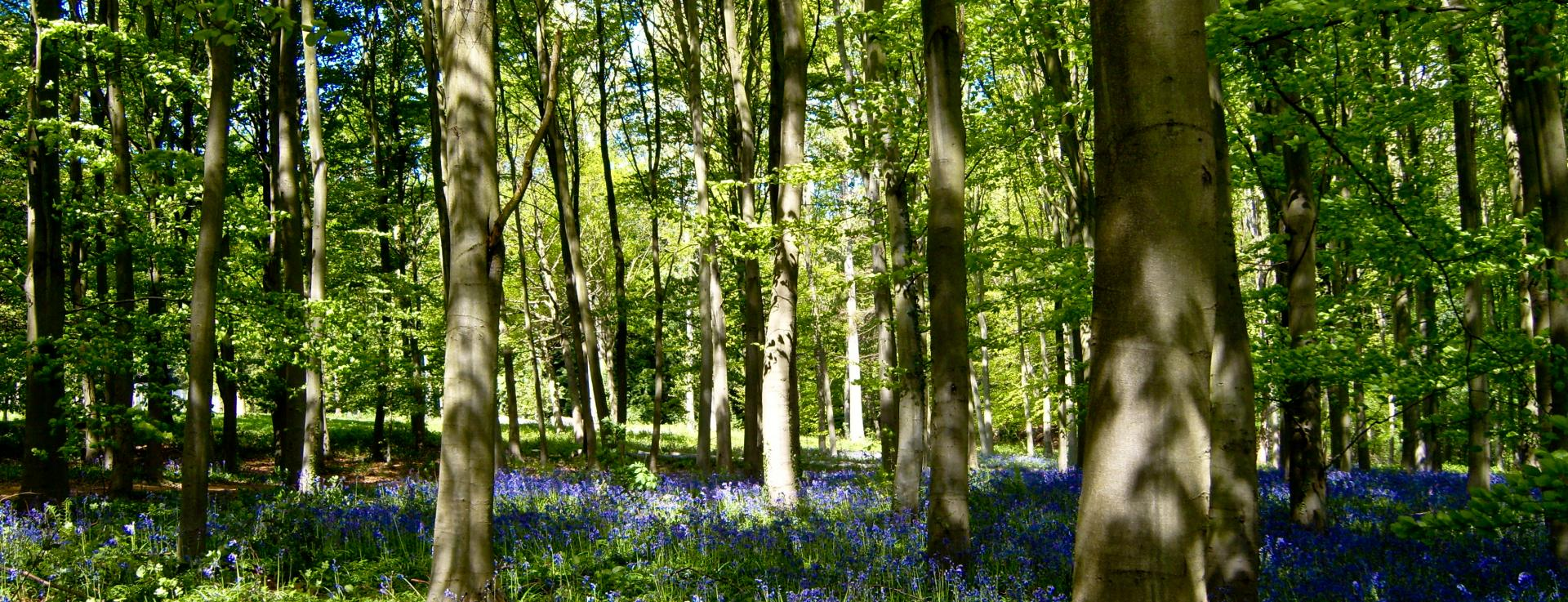 Bluebells on the Whittern Estate